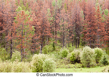 Mountain Pine Beetle killed pine forest - Dead brown pine...