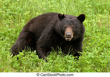 Green meadow Black Bear Ursus americanus resting - Young...
