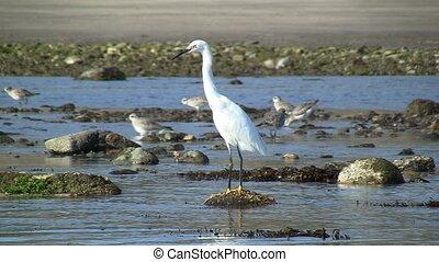 Snowy Egret Standing On Rock In Tide Pools - Snowy Egret...