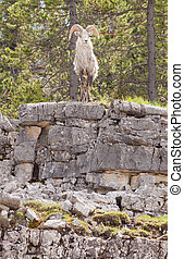 Thinhorn Sheep ram Ovis dalli stonei - Male Stone Sheep,...