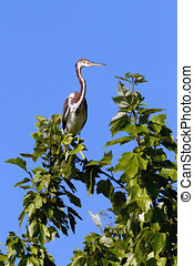 Tri colored heron on branch. - A tri colored heron is...