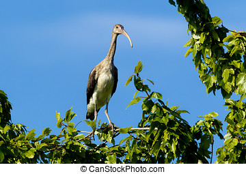 Young ibis in a tree.