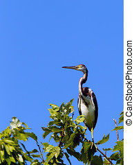 Perched tri colored heron - A tri colored heron is perched...
