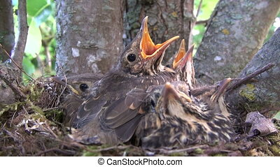 song thrush birds nest with chicks in pear tree