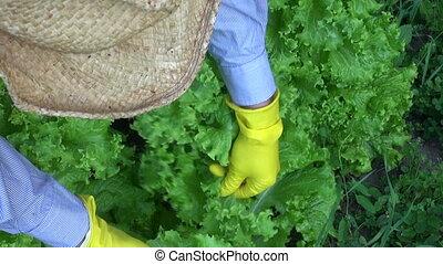 gardener picking fresh lettuce - gardener farmer picking...