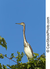 Long neck of tri colored heron. - A tri colored heron is...