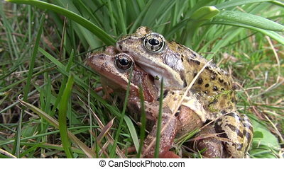 pair two frogs on grass in spring time