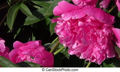 beautiful dewy peony flowers in summer garden after rain...
