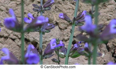 beautiful sage Salvia officinalis medical plant blossoms in...