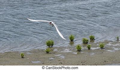 Black skimmer tern