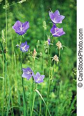 Meadow bluebell flower