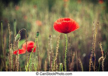 Beautiful red corn poppy flowers Papaver rhoeas - Papaver...
