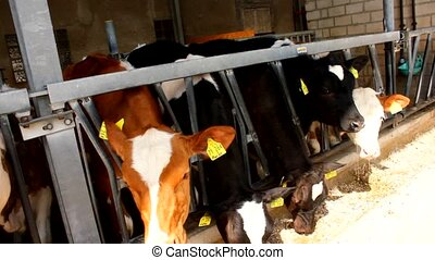 Many cows in a stable - stall