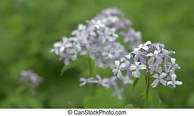 Perennial honesty spring wildflower, nature scene - Close up...