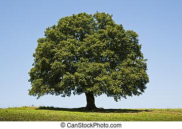 Dąb, drzewo,