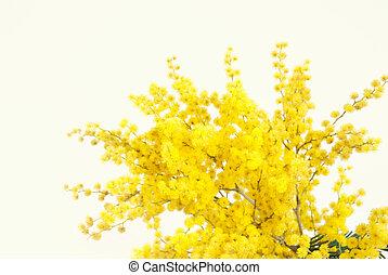 Twig of mimosa flowers - Twig of mimosa flower on light...