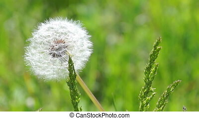 White Fluffy Dandelion in the Grass Sways in the Light Breez
