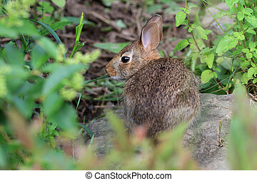 Cottontail Rabbit feeding on plants in morning sun