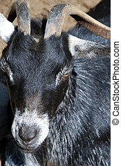 Goat Head - closeup - The background is blurred and is of...