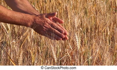Wheat Grain in a Farmer Hands