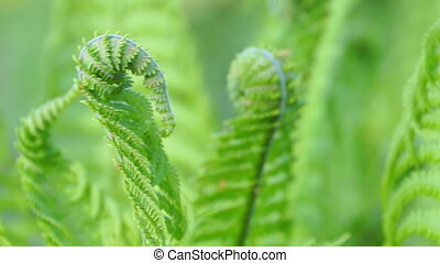 Young Green Fern Leaves Swaying in the Wind