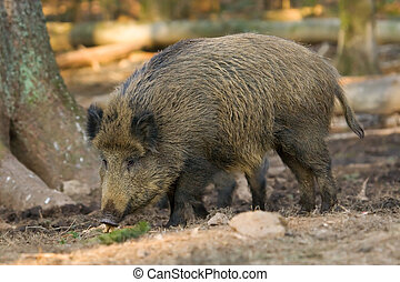 Wild boar looking for food