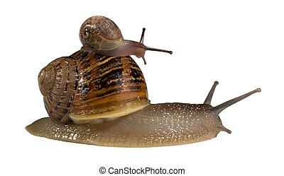 Snail on Back of Bigger Snail - Small snail hitching a ride...
