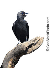 Wild Jackdaw - Corvus monedula on a white background