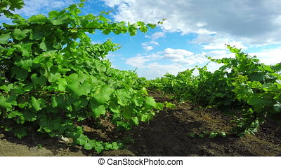 Vineyard on a Sunny Day - Vineyard on a Sunny and Windy Day
