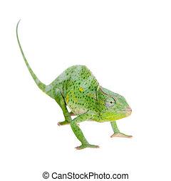 three-horned, Olbrzym, Kameleon, biały,  usambara