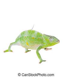 Usambara giant three-horned chameleon, on white - Usambara...