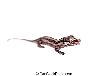 The gargoyle, New Caledonian bumpy gecko on white - The...