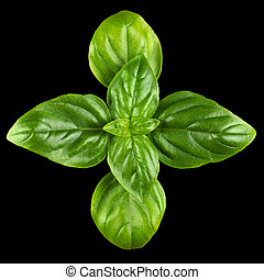 Young Sweet Basil Leaves From Above - Young Sweet Basil...