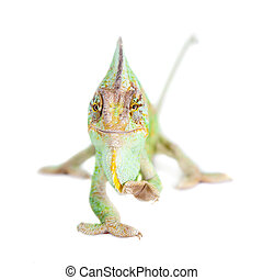 The veiled chameleon, Chamaeleo calyptratus, male - The...