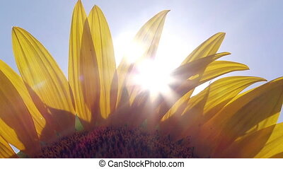Sun Light Peaks Through Sunflower Petals Agricultural Field...
