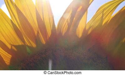 Sun Light Peaks Through Sunflower Petals Agricultural Field...