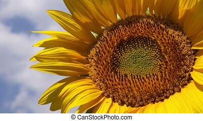 Sunflower Detail from Agricultural Field on Sunny Summer...