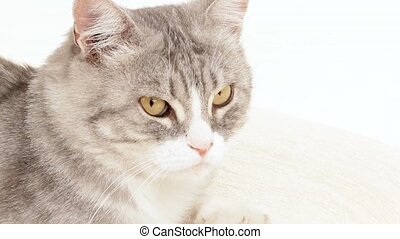 Gray Cat Stares Around - Beautiful gray cat is like a king...