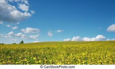 Glade of dandelions on springtime - Timelapse shot of glade...
