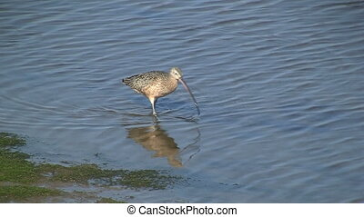 Long-billed Curlew Walking In Shallow Water - Long-billed...