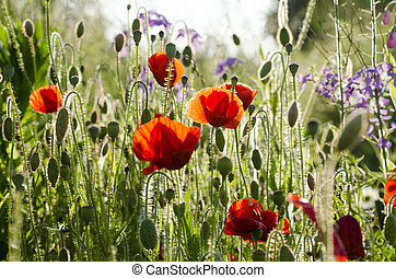 summerfield with poppies - field of flowers