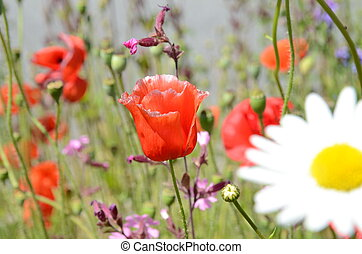 Poppy in summer - blue sky and flowers