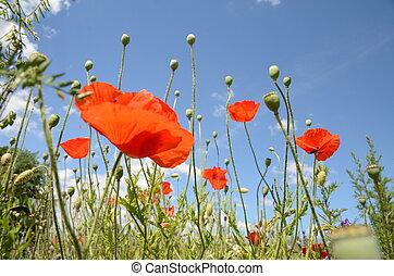 Blumenwiese im Sommer - Feldblumen im Sommerwind