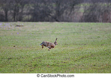 Jumping hare - Photo of wild hare jumping high in the air