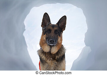 Avalanche Rescue Dog A Most Welcome Sight - If you are...