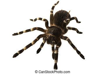 giant tarantula Acanthoscurria geniculata isolated on white...