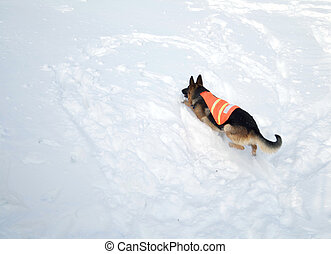 Avalanche Rescue Dog Climbing a Mountain of Snow - If you...