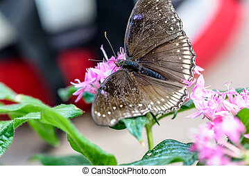 Brown Butterfly with blue dots sucking nectar on pink...