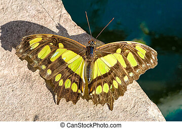 European swallowtail ready for take off (Papilio machaon)