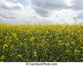 Canola Plant crop - Yellow flowers of canola crop